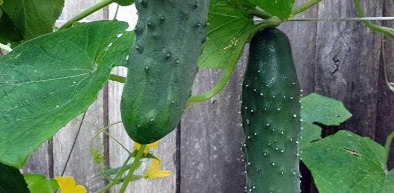 Чому огірки гіркі: що робити і як запобігти гіркоті при вирощуванні 100