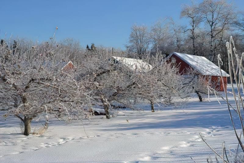 Чи треба втоптувати сніг навколо плодових дерев? 2