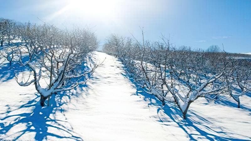 Чи треба втоптувати сніг навколо плодових дерев? 1
