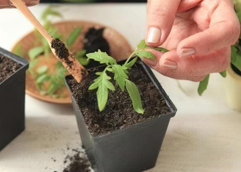 Фото процесу пікіровки томатів