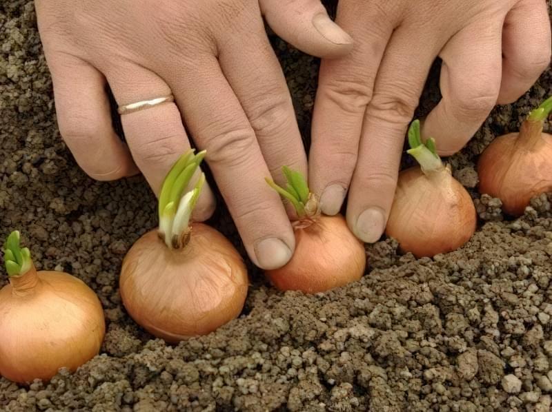 Посадка коренеплоду в грунт