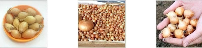 Голландські сорти цибулі-сіянки: опис і вирощування 4