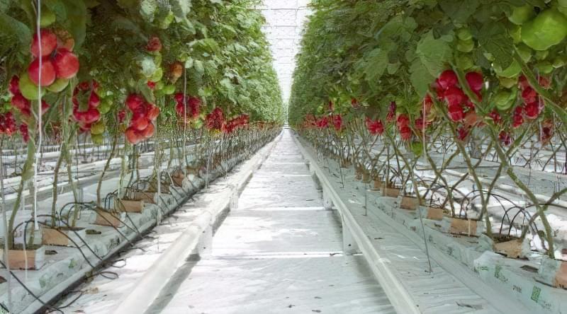 Огляд кращих сортів томатів для теплиці з полікарбонату 2