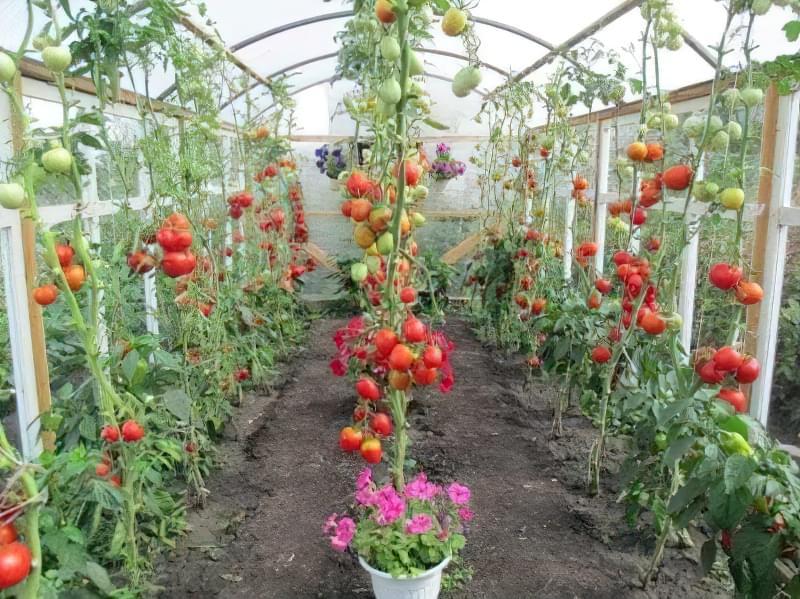Огляд кращих сортів томатів для теплиці з полікарбонату 1