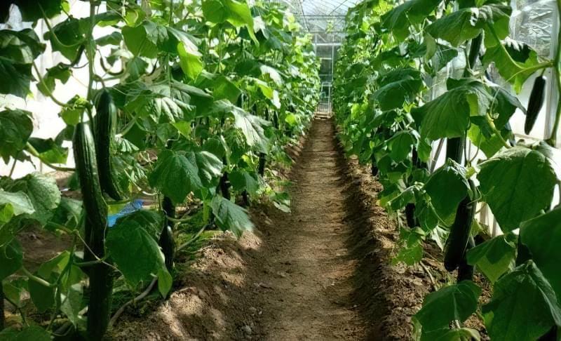 Вирощування огірка в теплиці
