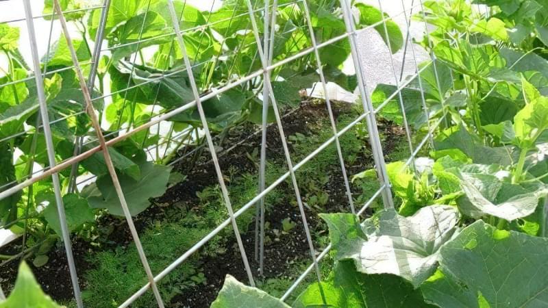 Як не допустити основні помилки при вирощуванні огірків 3