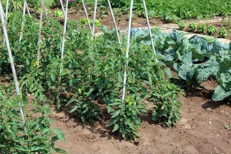 Основні помилки при вирощуванні помідорів 2