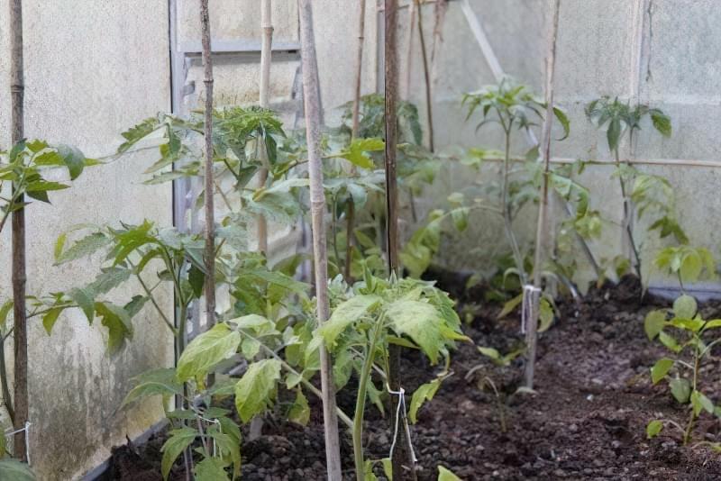 Основні помилки при вирощуванні помідорів 3