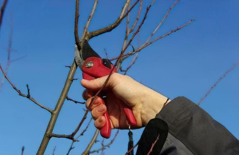 Особливості розмноження дерева яблуні живцями 2
