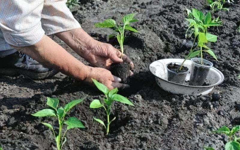 Розсаду перцю пересаджують у відкритий грунт через 60-80 днів