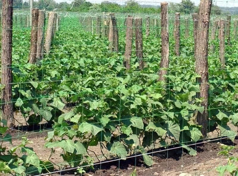 Методика вирощування огірків на шпалері