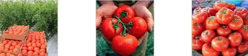 Томат Слот F1: вирощування і догляд 3
