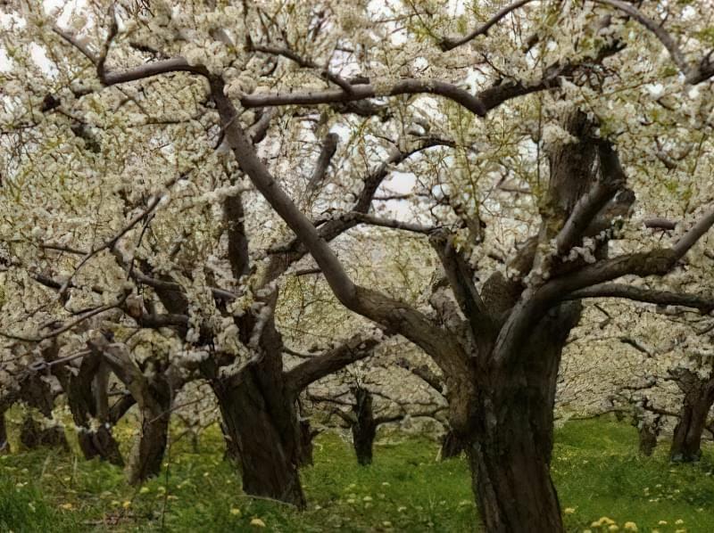 У старіючого дерева плоди втрачають якість