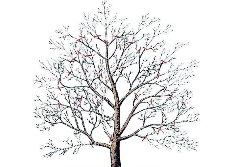 Схема обрізки плодового дерева