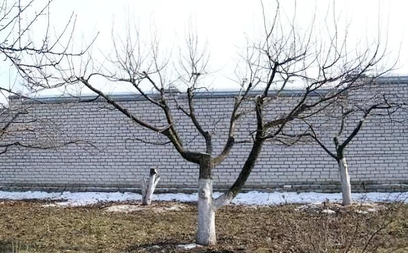 Як поетапно омолодити стару яблуню в саду 1