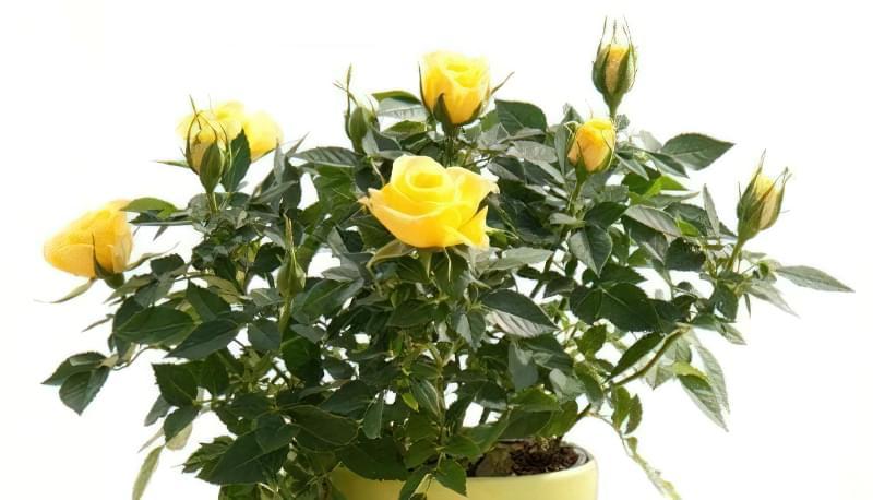 Як правильно обрізати кімнатну троянду? 2