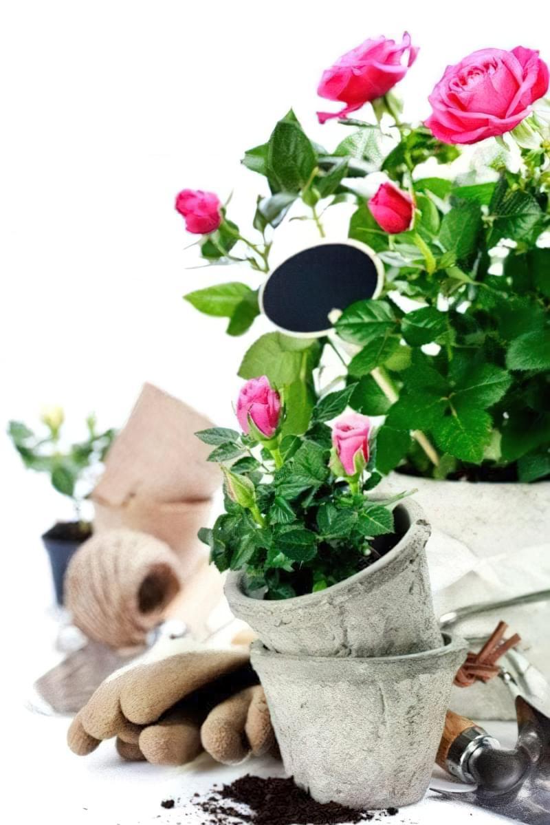 Догляд за кімнатними трояндами після обрізки