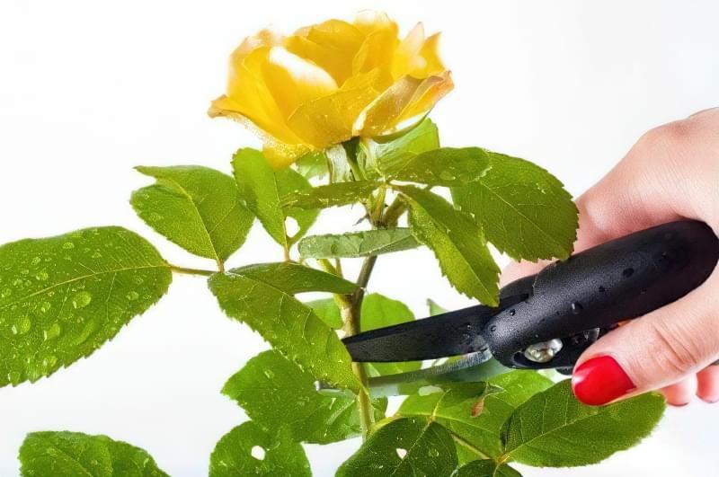 Як правильно обрізати кімнатну троянду? 9