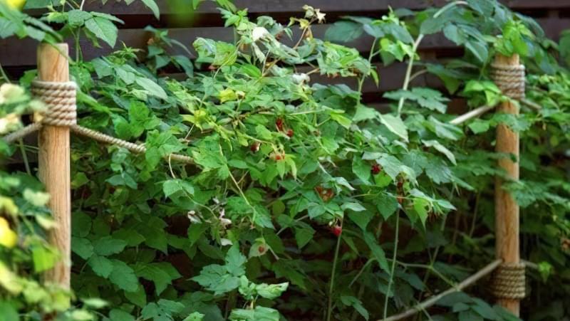 Малина, підперезана в саду
