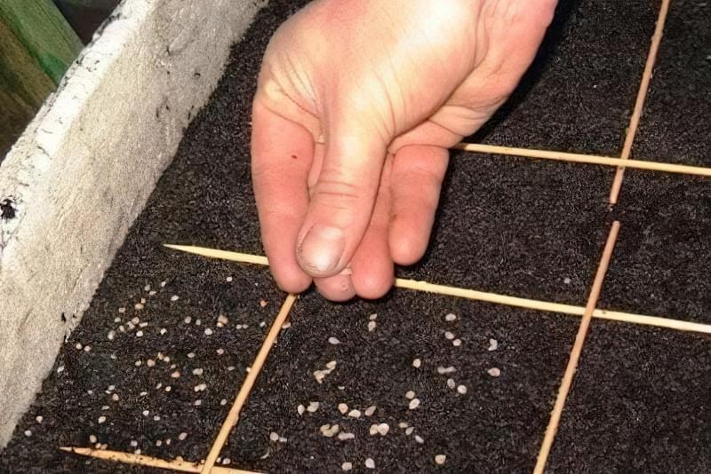 Перед посадкою насіння томатів переносять у тепле приміщення