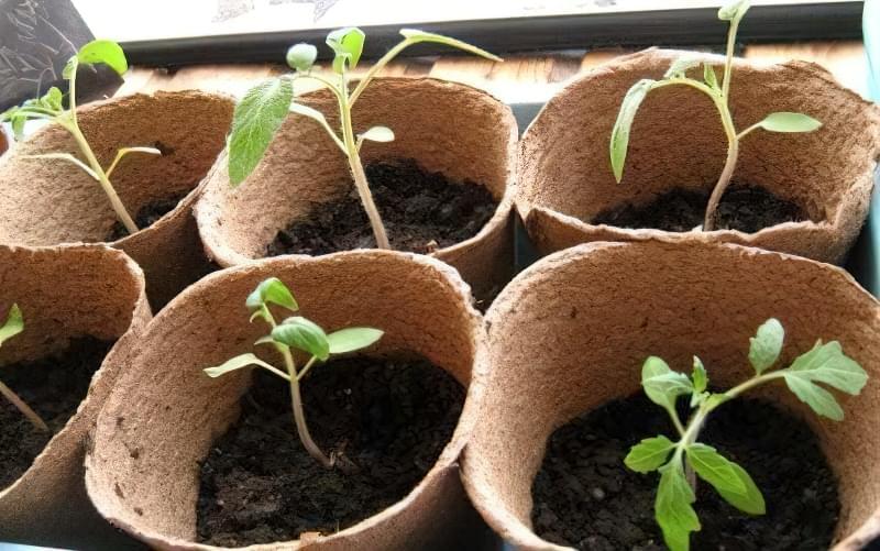 Розсада томатів прекрасно росте у пухкій живильної землі