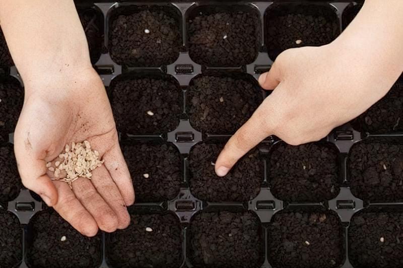 Як правильно посадити розсаду помідорів і висадити в грунт 2