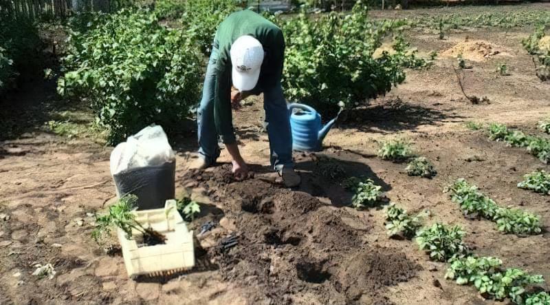 Висаджувати розсаду томатів у відкритий грунт у травні рекомендують