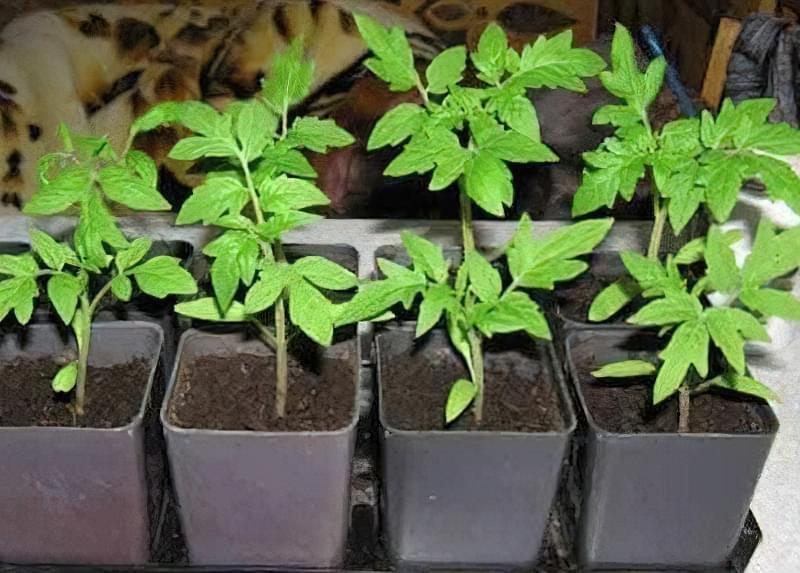 Як правильно посадити розсаду помідорів і висадити в грунт 1
