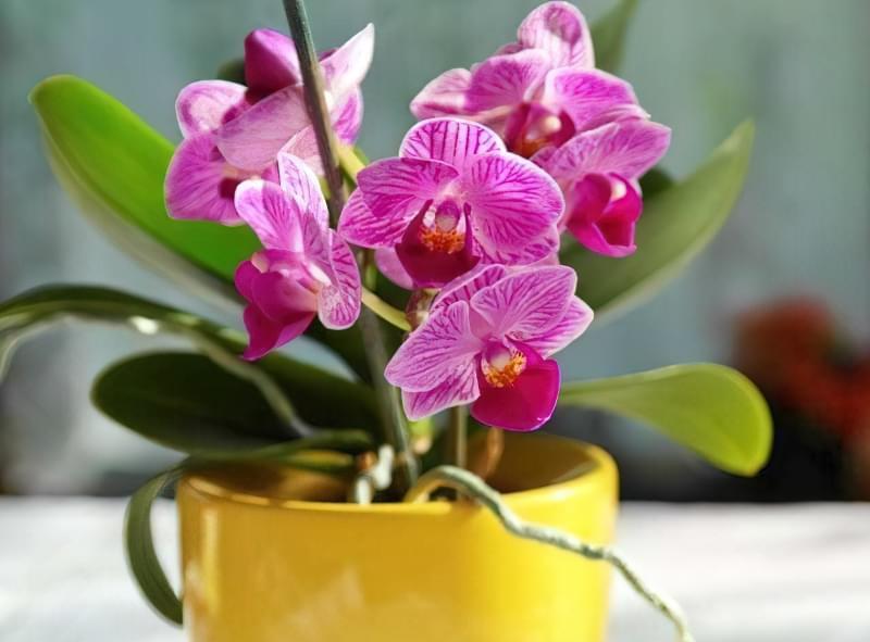 Як продовжити цвітіння орхідей? 2