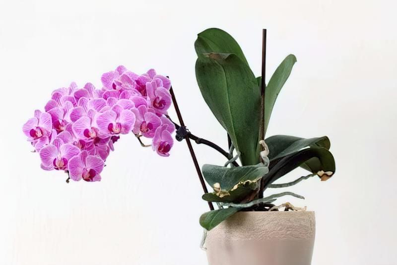 Як продовжити цвітіння орхідей? 3