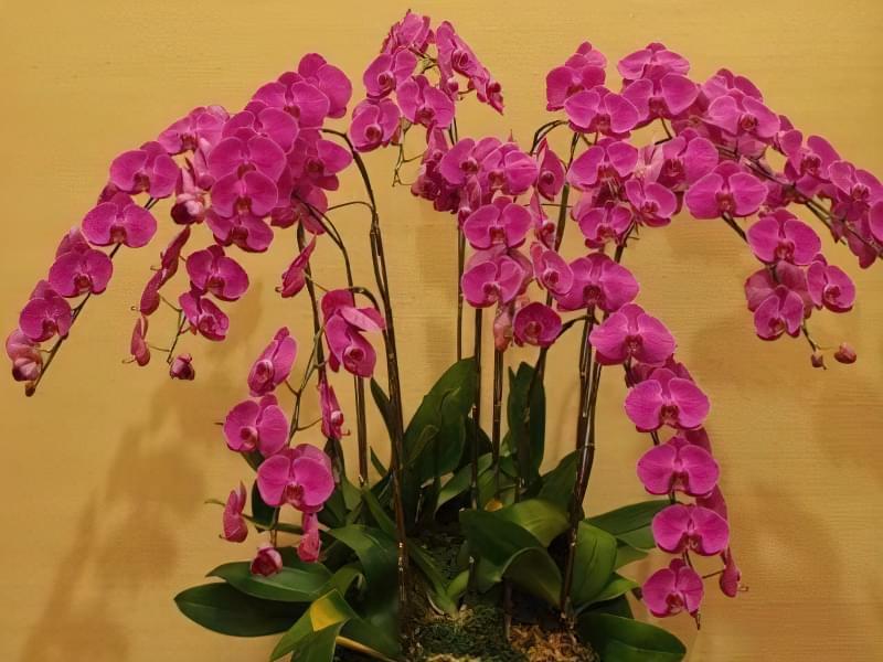 Як продовжити цвітіння орхідей? 4