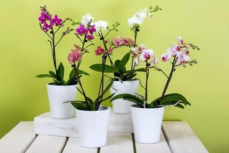 Як продовжити цвітіння орхідей? 1