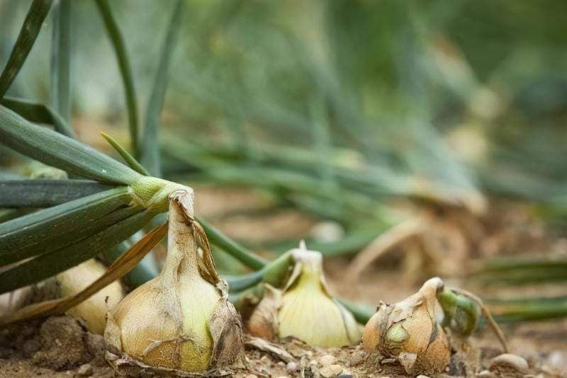 Як виростити великі цибулини ріпчастої цибулі? Секрети та поради 2