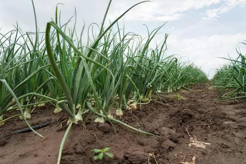 Як виростити великі цибулини ріпчастої цибулі? Секрети та поради 3