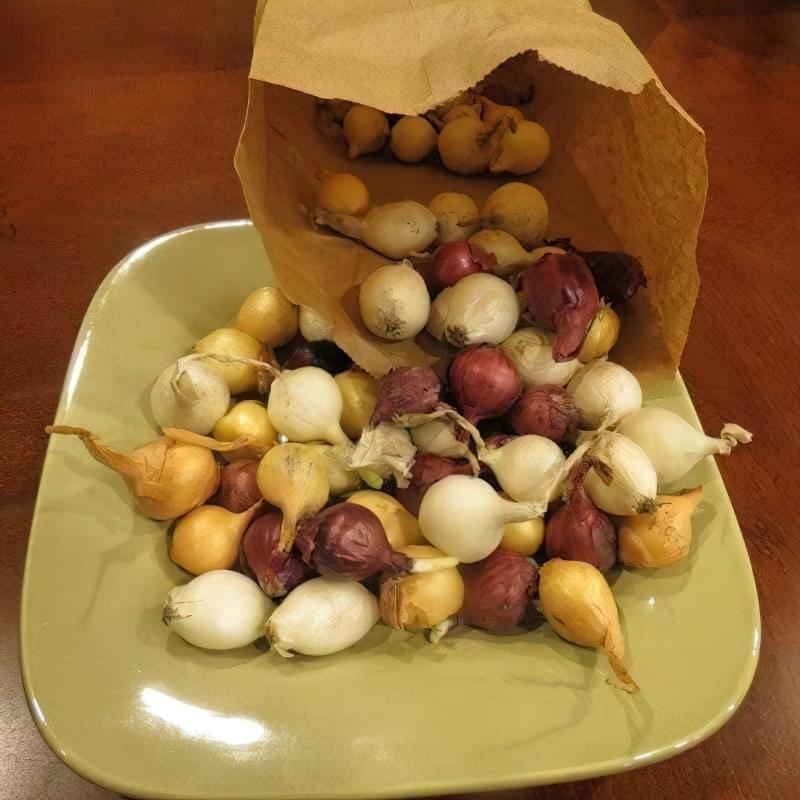 Як виростити великі цибулини ріпчастої цибулі? Секрети та поради 4