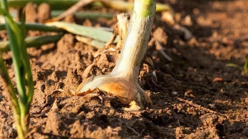 Як виростити великі цибулини ріпчастої цибулі? Секрети та поради 7