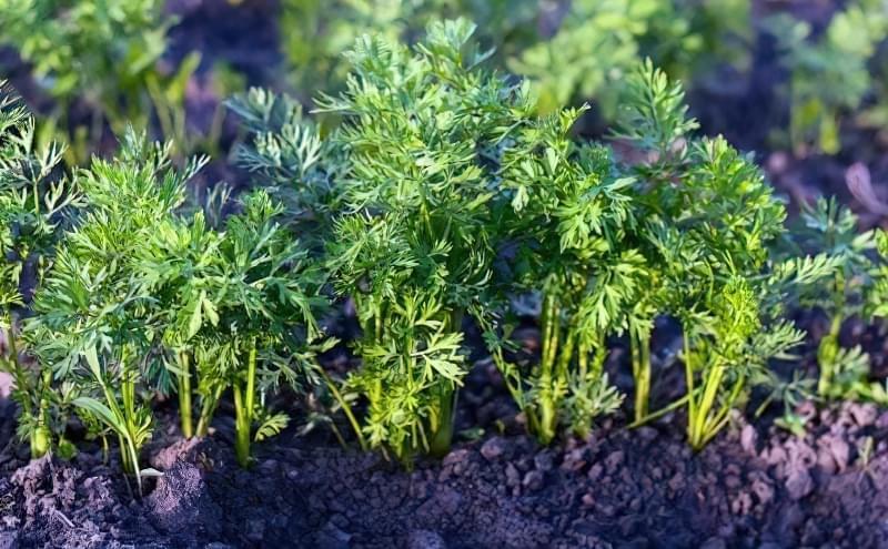 Як виростити велику і солодку моркву? Прийоми, агротехніка, поради та секрети 2