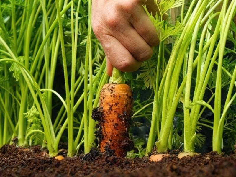 Як виростити велику і солодку моркву? Прийоми, агротехніка, поради та секрети 1
