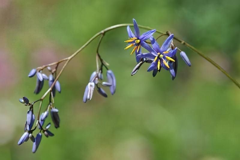 Діанелла блакитна (Dianella caerulea)