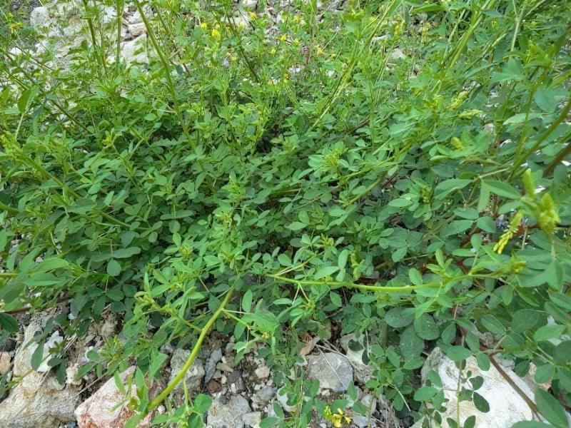 Загальний вигляд рослини буркун лікарський