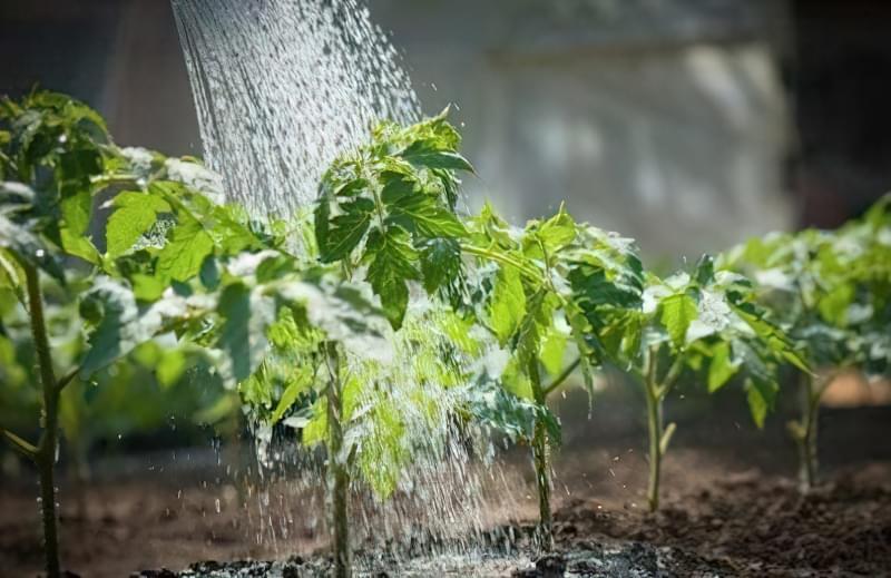 Полив розсади помідорів