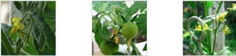 Чому не зав'язуються помідори в теплиці і як це виправити 3
