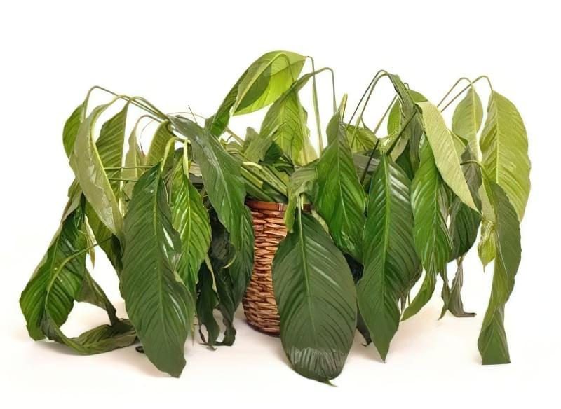 В'януча кімнатна рослина