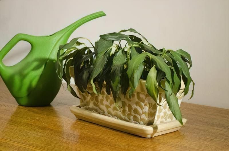 Чому в'януть кімнатні рослини? 1