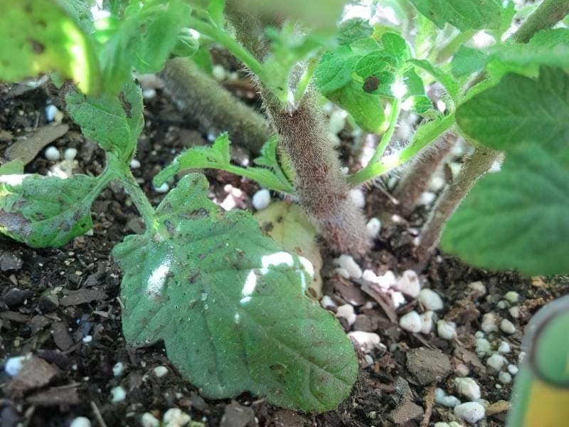 Чи потрібно обривати нижні листки на помідорах? 2