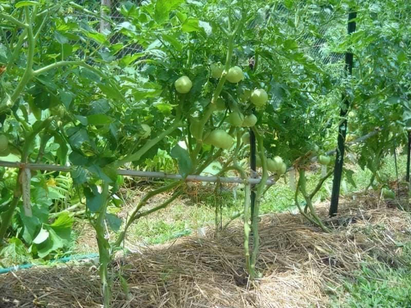 Чи потрібно обривати нижні листки на помідорах? 3
