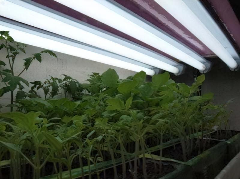 Чим потрібно полити розсаду помідор, щоб росли міцними 2