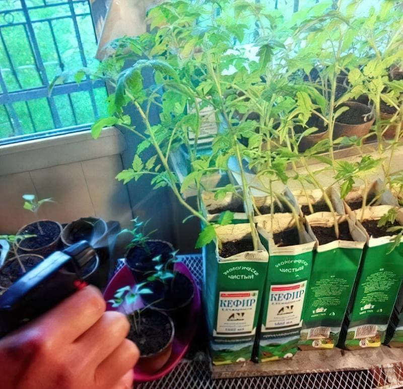 Позакореневе підживлення розсади помідорів