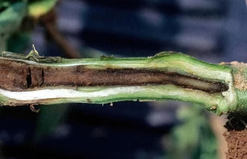 Коренева гниль томатів крупним планом