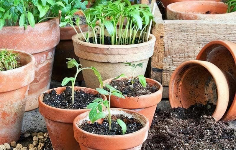 Розсада томатів очікує часу посадки